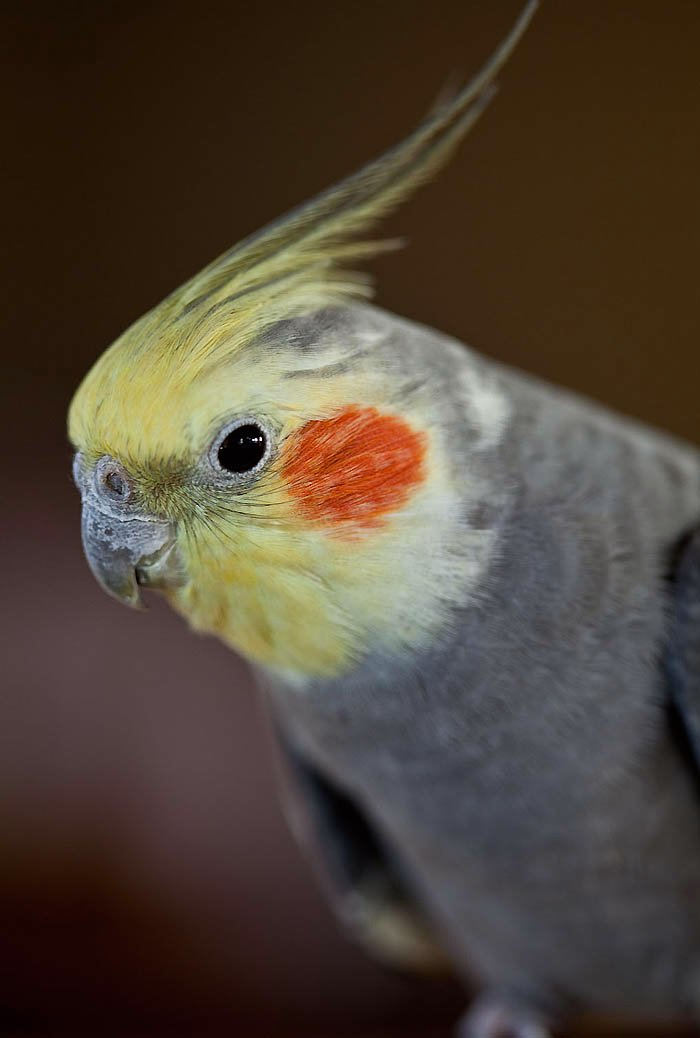 bird, cockatiel, pet, Nymphicus hollandicus,Calyptorhynchinae, Cacatuidae